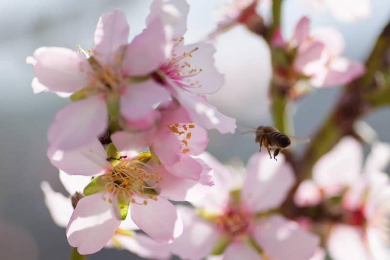HonningGutta Mandelblomsthonning 250g