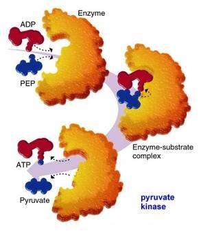 Bilde av Enzymer & co-enzymer
